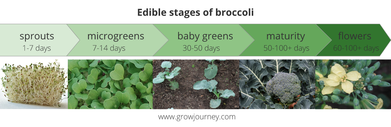 An example of edible stages of broccoli. The plant offers different colors, textures, flavors, and nutritional profiles at each stage.