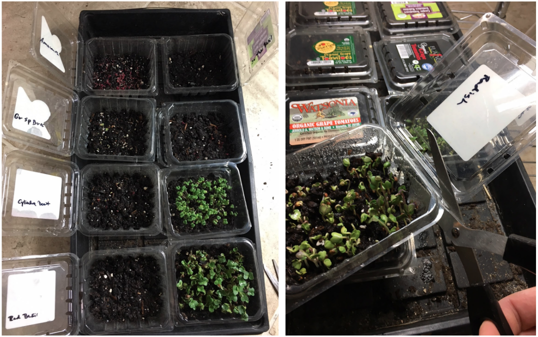 Germination! Time to uncover them and get them into the light. Since the open lids on the clamshell containers made them difficult to fit under our grow lights, we cut them off and stuck them underneath the corresponding variety so we could remember what each variety was.