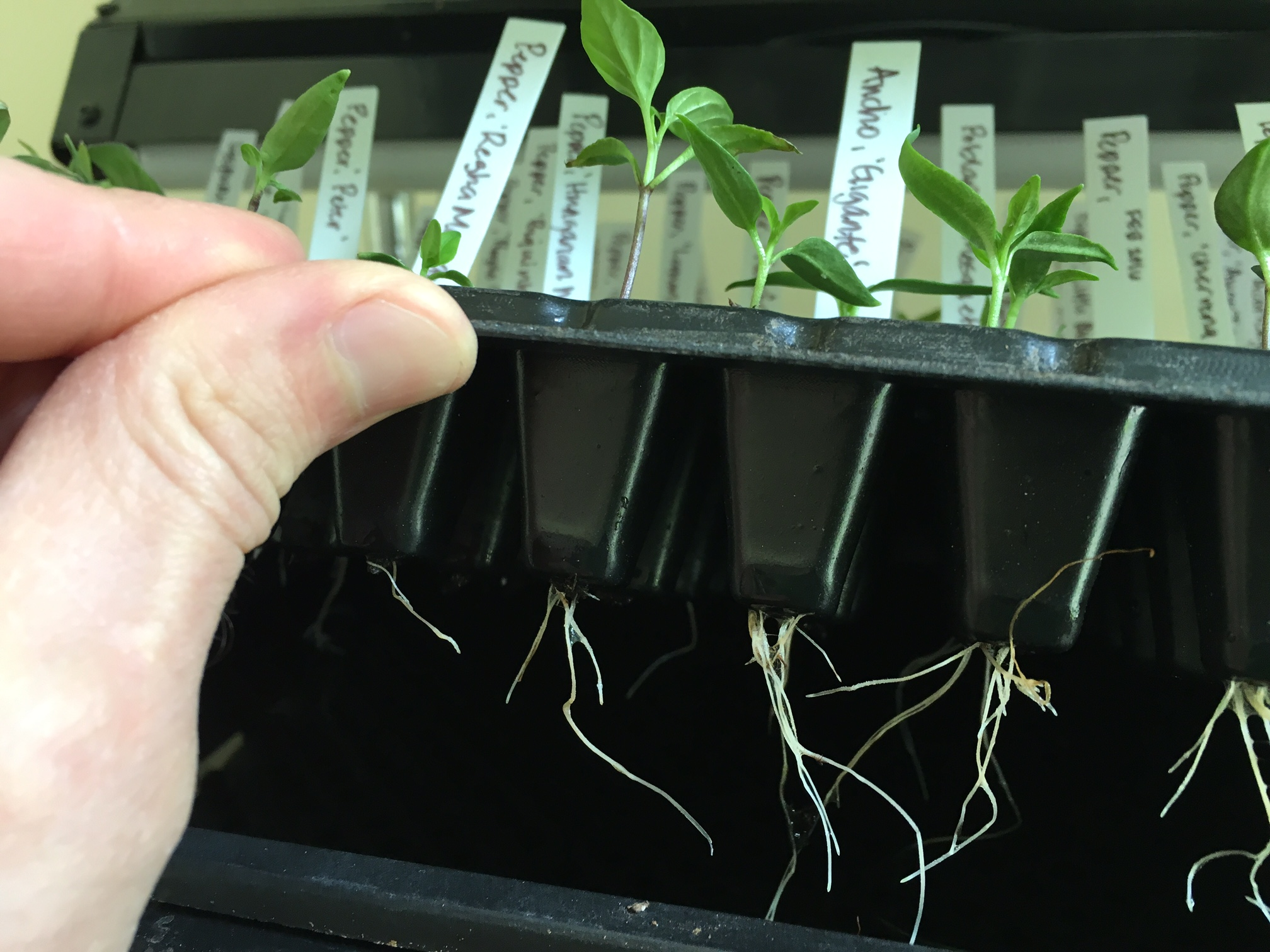 A small hole in the bottom of each cell allows for good drainage and for the seedling roots to grow out into the tray below. To remove the seedlings, we gently pushed a chopstick into the hole to dislodge the seedling from its cell.