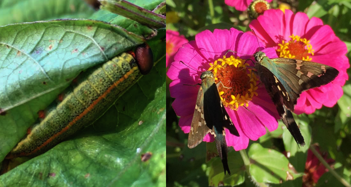 It's hard to believe that the larva/caterpillar (left) munching on this bean leaf will turn out to be such a gorgeous adult. The adults (right) are called long-tailed skippers (Urbanus proteus), seen here foraging nectar on zinnias. If you have a healthy ecosystem, they never proliferate to the point of becoming serious pests.