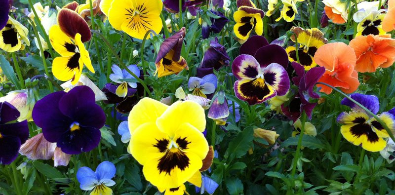 Edible pansies love the cold!