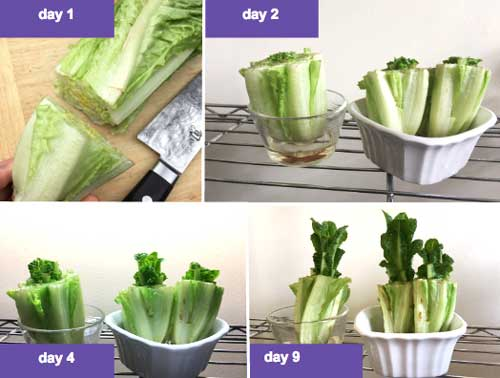 A progression showing 9 days of growth on a head of Romaine lettuce cut and placed in a bowl with some water. Lettuce in the ground will regrow more vigorously since it has a large, established root system.