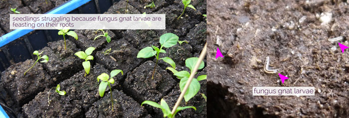 Fungus gnat effects (left) and larvae (right). Garden seedlings.