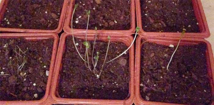 Leggy, dying seedlings desperately stretching for sunlight.