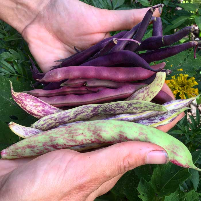 Heirloom beans from our garden. A beautiful diversity of shapes, sizes, colors and tastes.