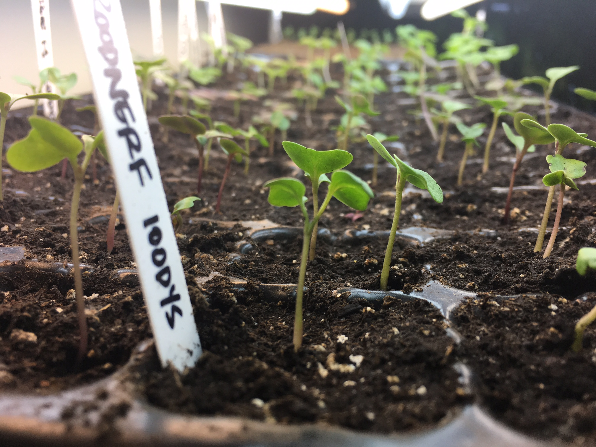 Fall seedlings in our still like-new and stronger-than-tarnation reused Bootstrap seed trays.