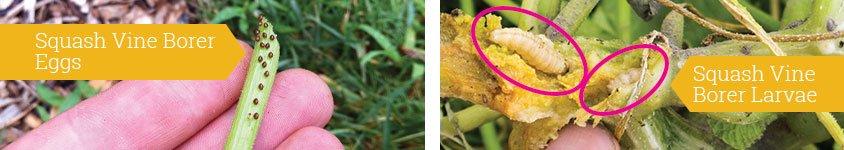 南瓜藤蛀虫卵和幼虫