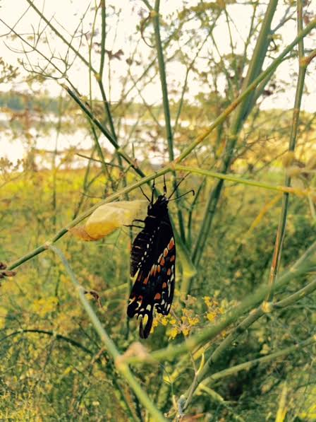 A black swallowtail just emerging from its chrysalis (the yellow papery object just to the left of its body) on a fennel plant.