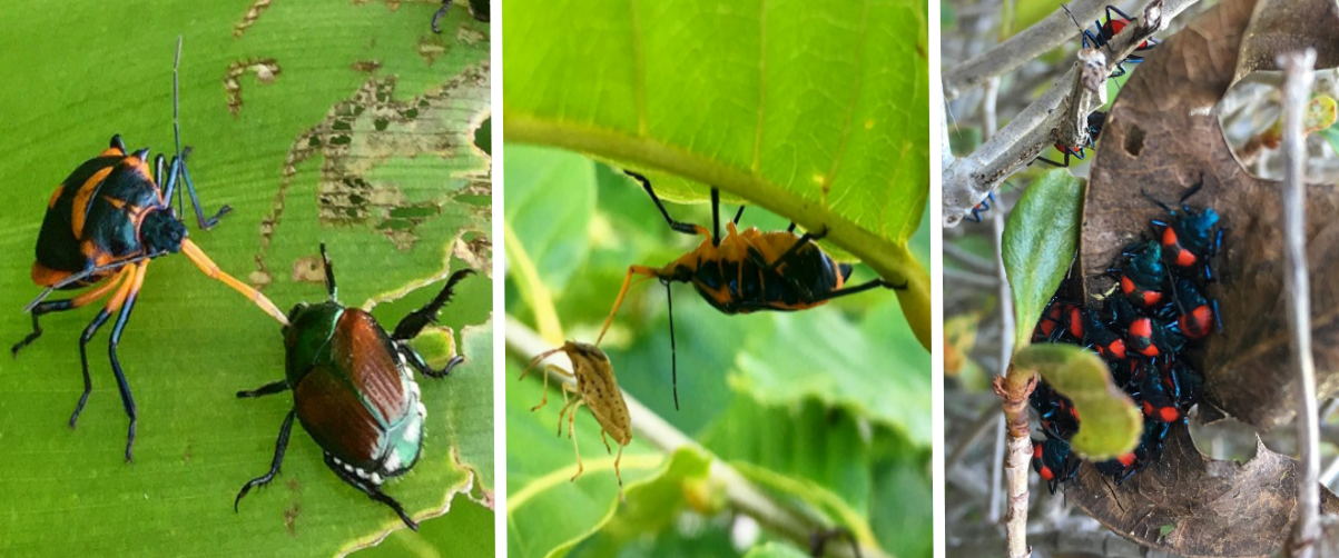 Florida predatory stinkbugs are highly effective predators, so don't confuse them with harlequin bugs! Left: eating a Japanese beetle. Center: eating a pest stinkbug. Right: a cluster of nymphs emerging in spring.
