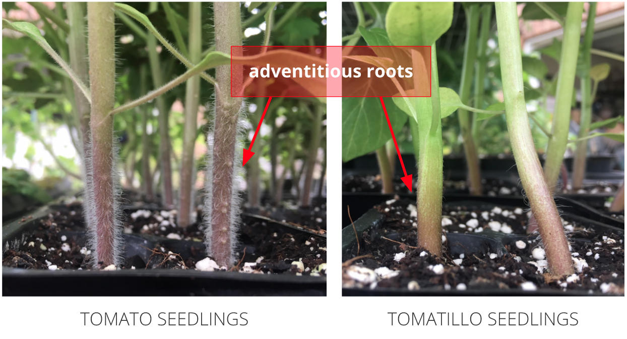 Adventitious roots along the stems of tomato seedlings (left) and tomatillo seedlings (right).