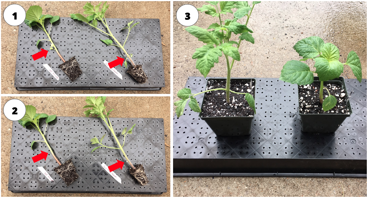Potting up tomato and tomatillo seedlings into larger containers. 1. Notice the red arrows pointing out the cotyledon leaves which will be removed (you can clip them off with your finger nails). 2. Red arrows show seedling after cotyledon leaves removed. 3. Seedlings are potted up into larger containers with their stems/adventitious roots buried below the soil surface to allow for more extensive root system development.