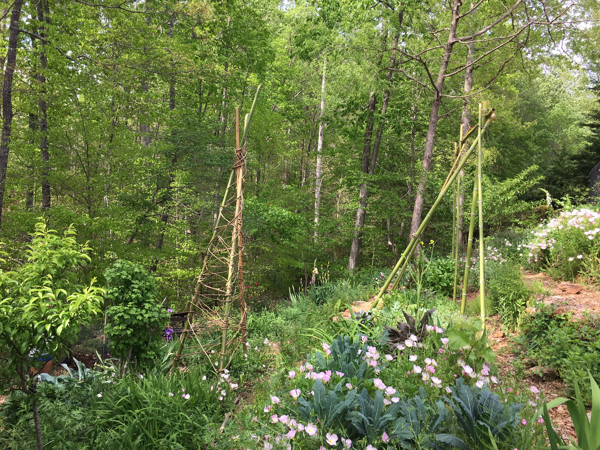 Bamboo and kudzu can be serious problems, but they can also be a great solution if you want to make trellises for climbing plants like beans, cucumbers, gourds, and others.