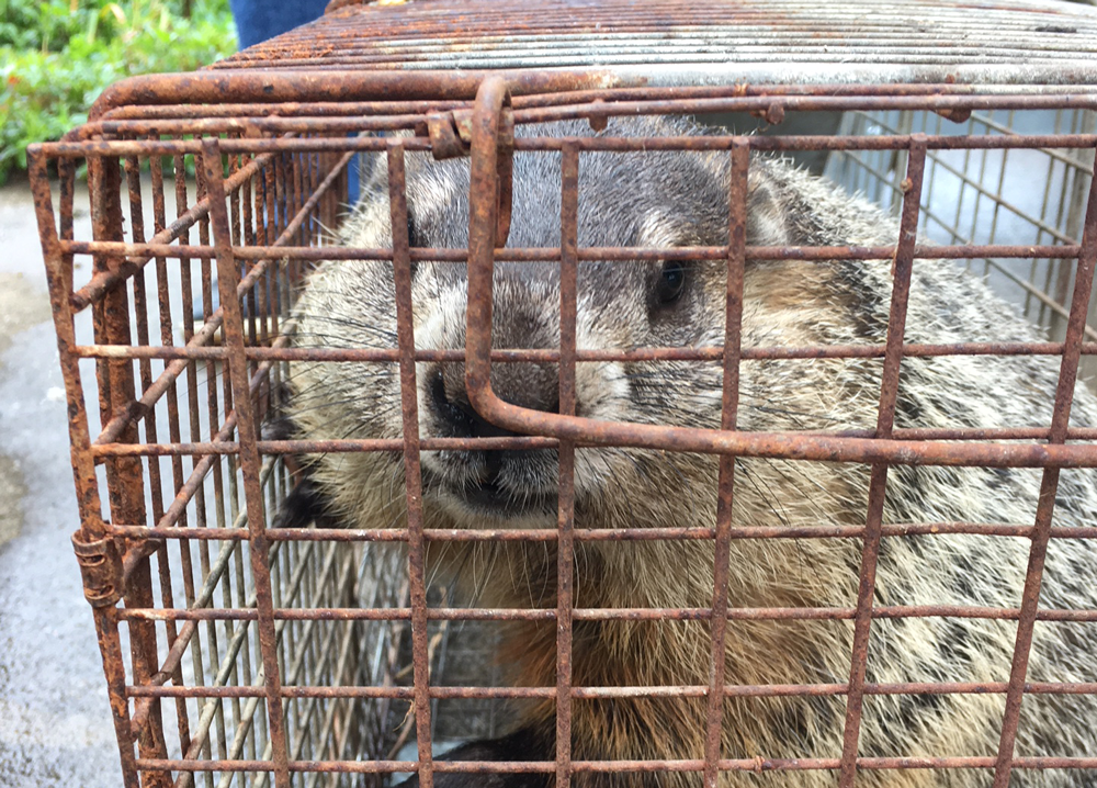 Sure, groundhogs are cute. They can also eat 1.5 pounds of veggies each day. how to get rid of groundhogs / how to get rid of garden pests