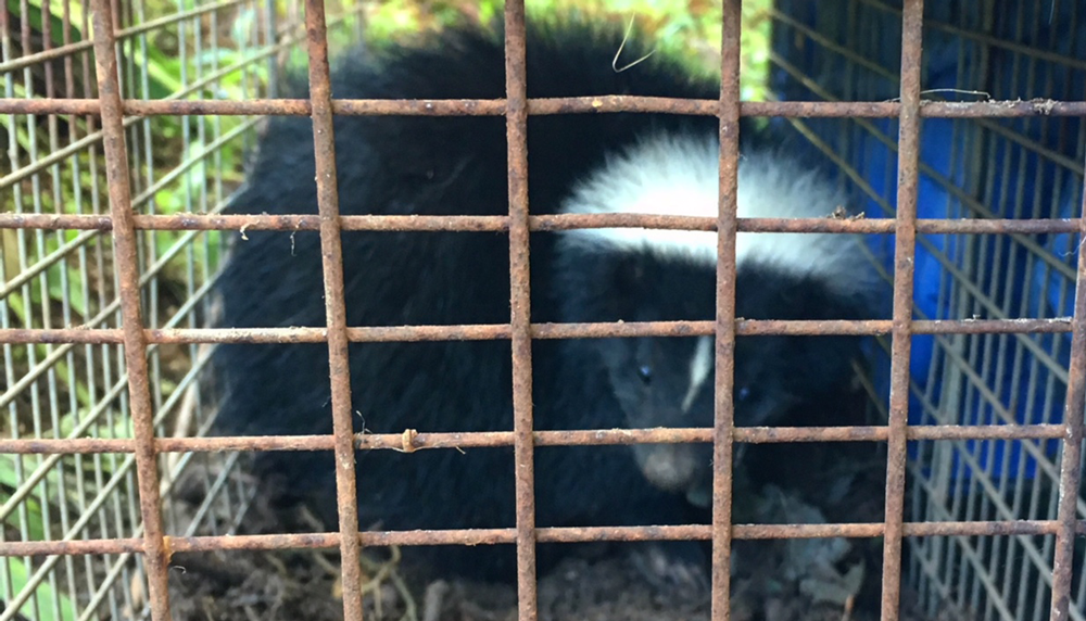how to keep skunks out of your garden