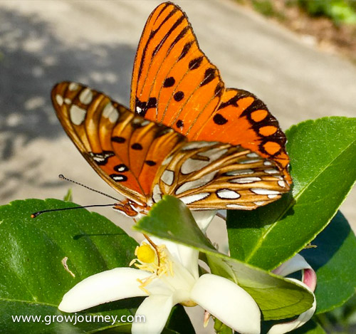 A Gulf fritillary butterfly visiting a Meyer lemon blossom. www.GrowJourney.com