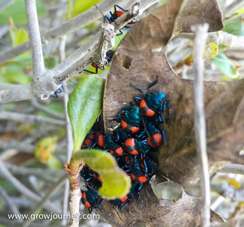 OMG! It's an infestation...of good predators. This is what the nymphs of Florida Predatory stinkbugs look like. Their range is the southeastern United States. If you're a pest insect reading this article, you should be terrified right now. www.GrowJourney.com
