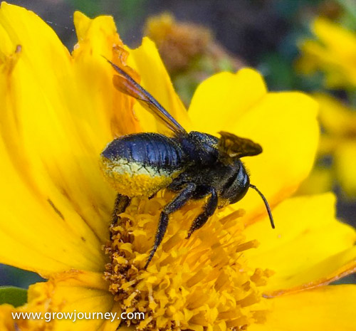 This is a Megachile xylocopoides bee. Notice how it stores the pollen it forages on its abdomen rather than as pollen baskets on its hind legs like many other bees. It's a digger bee that likely has dug a hole in the ground nearby where she'll make individual cells for each of her eggs, with a ball of pollen stored inside to feed the larvae a they grow. Another reason not to till your soil is to provide safe breeding habitat for all the native ground-dwelling bees.