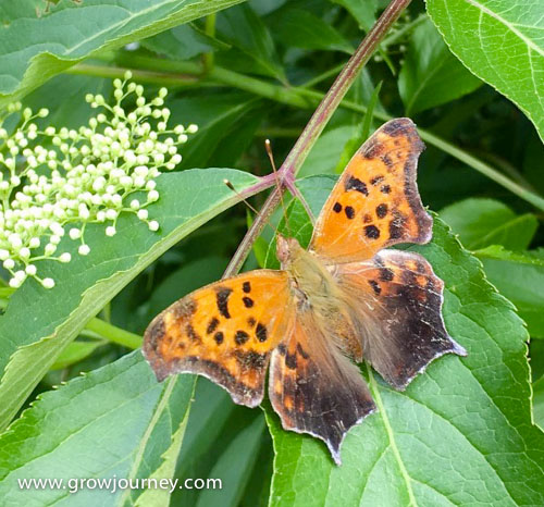 A Question Mark butterfly (Polygonia interrogationis) on an elderberry bush. www.GrowJourney.com