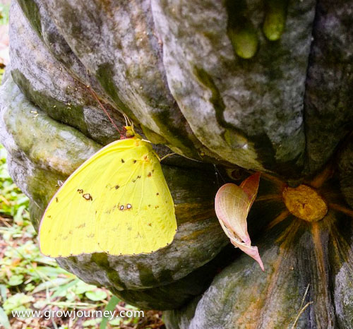 A stunning Cloudless Giant Sulphur butterfly (Phoebis sennae) drying its wings after emerging from its chrysalis (the pink thingie) on the underside of a pumpkin. www.GrowJourney.com