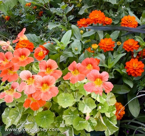 Variegated nasturtiums, dwarf zinnias, marigolds and other flowering plants grace the front of a garden bed.