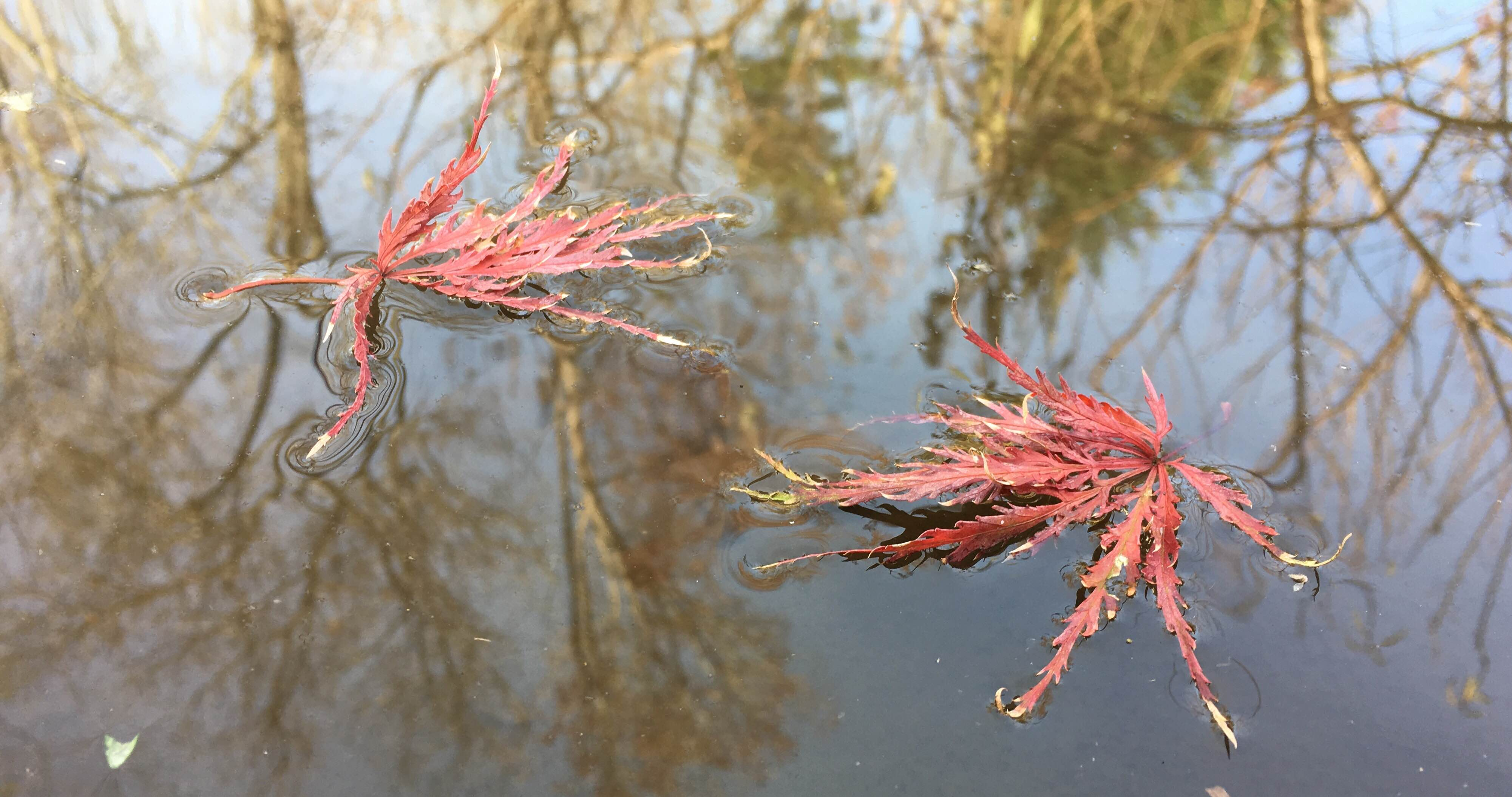 Newly fallen Japanese maple leaves on a pond.