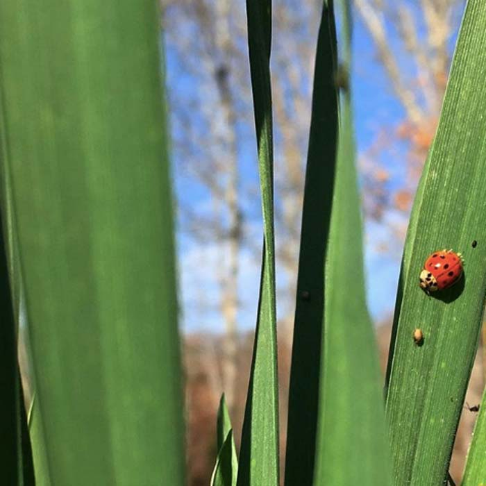 This ladybug is hunting wheat leaves for aphids. Unfortunately, the aphid just in front of it has already been parasitized by a parasitoid wasp so won't be a good food source. Too many predators in the buffet line!