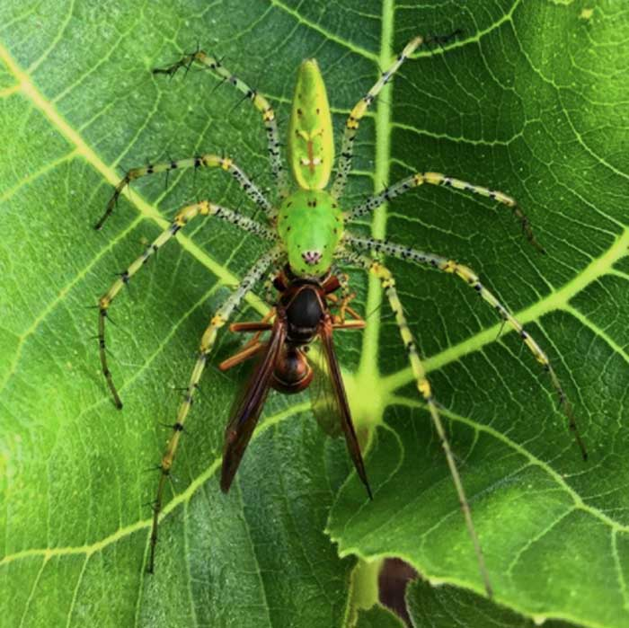 This green lynx spider is eating another beneficial garden predator: a paper wasp.