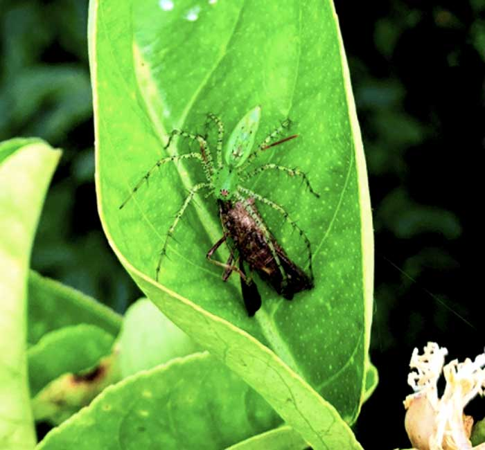 A green lynx spider eating a leaf-footed bug on a Buddha's hand citron plant at Tyrant Farms. Leaf-footed bugs are a common pest insect that can do significant crop damage.