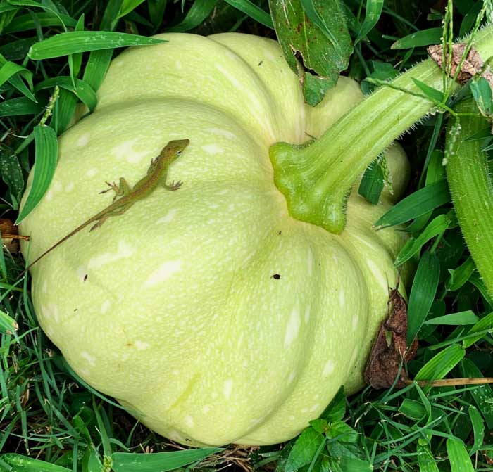 A Carolina anole basking in the sun atop a young winter squash. Anoles spend their days dining on insects, making them a useful pest control helper. Insecticides can kill or harm these friendly helpers, not just your foes. From: worst gardening mistakes you can make