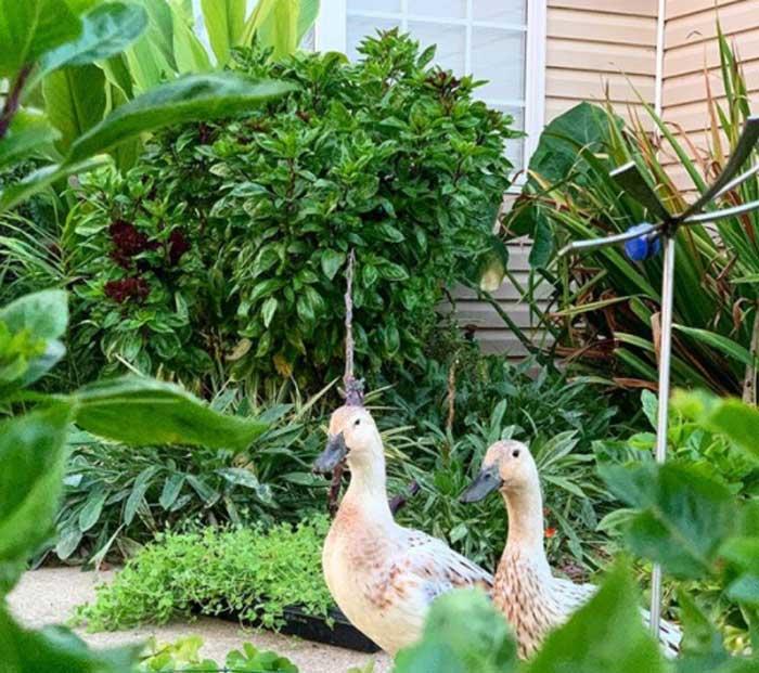 在炎热潮湿的东南部,我们最喜欢的罗勒品种是红衣主教罗勒(照片左后)。这张照片是在9月拍摄的,那时大多数罗勒品种已经吃完或失去了味道。然而,罗勒枢机主教继续产生成堆的美味的叶子。您还可以看到植物的红色花卉集群,帮助吸引粉碎机。