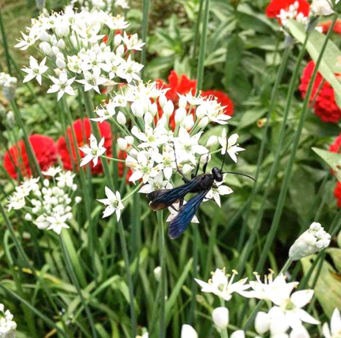 大黑黄蜂在大蒜香葱花上觅食。它们是可怕的捕食者和在地下筑巢的传粉者,所以免耕有机方法确实有助于它们的数量。确保在温暖的季节里有多种类型的花盛开,确实可以增加捕食者和传粉者的数量,这意味着更高的产量和更低的害虫压力。蒜香葱花也很好吃!它们尝起来像大蒜和花蜜——可以把它们放在沙拉中,或者用作美味菜肴的装饰。