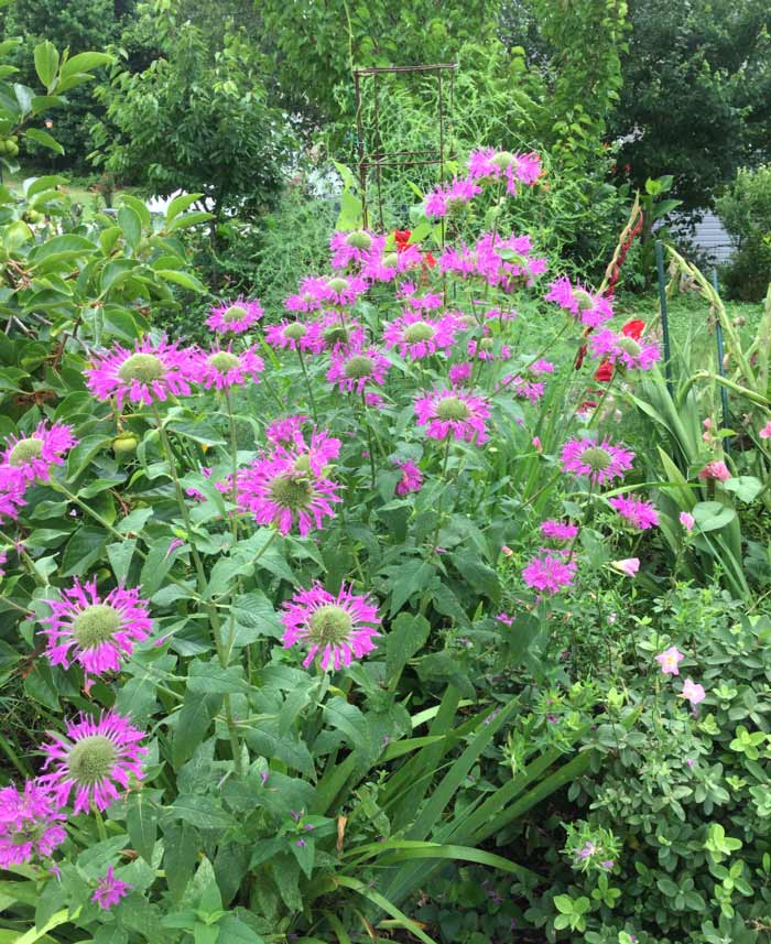 Showy monarda plants in the front yard of GrowJourney's cofounders. A monarda flower is also the featured image of this article.