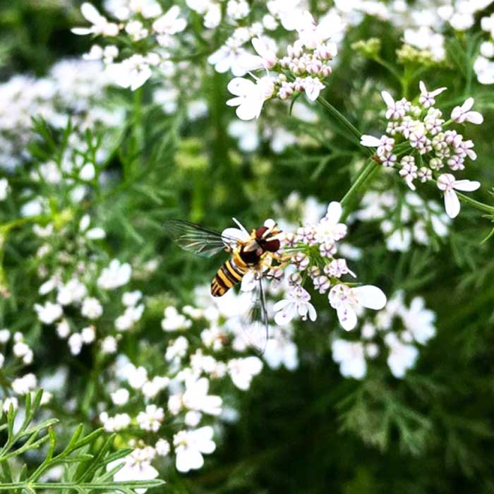 A syrphid fly pollinating cilantro flowers. These little insects aren't just great pollinators, their larvae are voracious predators.