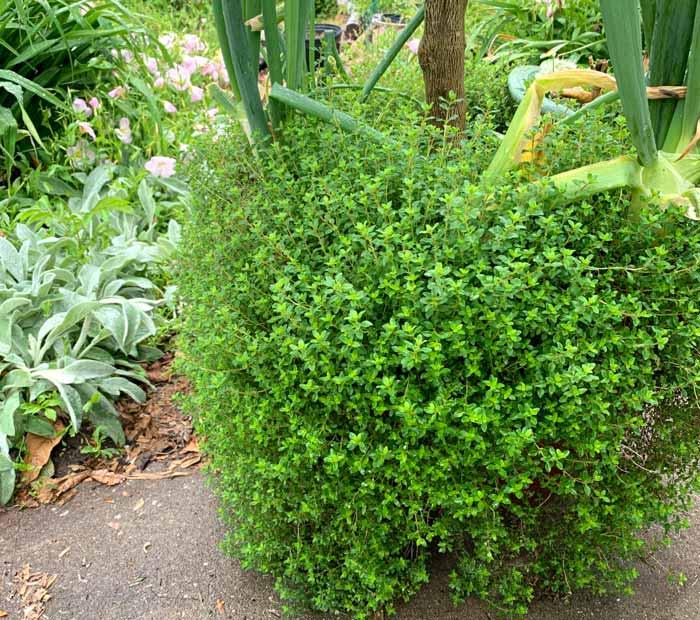 信不信由你,这堆百里香下面有个大罐子。百里香溢出边缘,在任何有土壤的地方生根。很快,这棵植物就会开满小花。