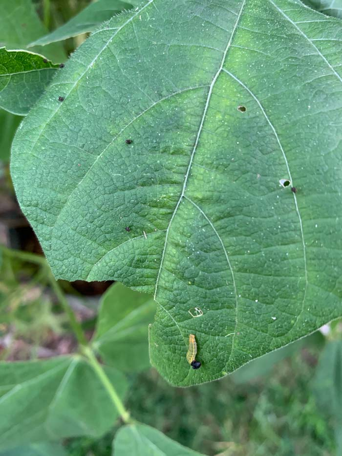 The tiny caterpillar at the base of this bean leaf is a bean leafroller, which has ventured out of its protective leaf pocket - perhaps for a fresh spot on the leaf or perhaps to make a new pocket.