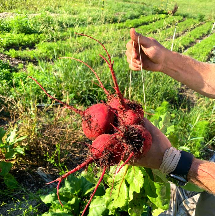 Bundling beets in the field. Fresh, local nutrient-dense foods are only one beneficial output of regenerative farms like Horseshoe.