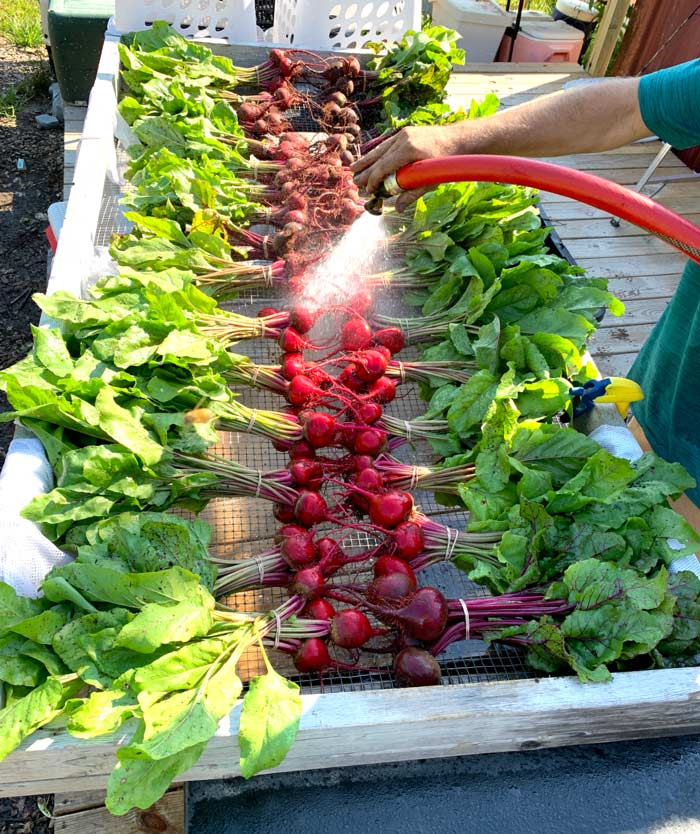 A morning harvest of beets getting cleaned up and ready to go to a local restaurant and into CSA boxes.