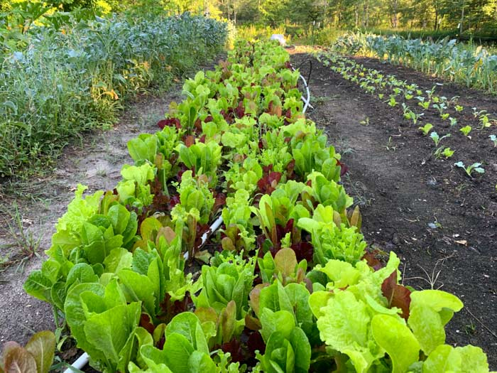 A 50' row of lettuce mix. How will this row compare to other lettuce mixes in yield? There's no way to know unless you're comparing it to another 50' lettuce row.