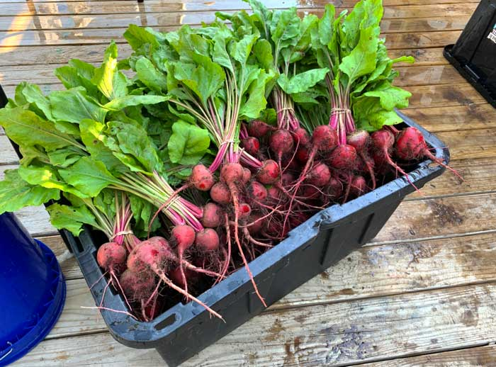 Root crops such as beets, turnips, and carrots are staples at Horseshoe due to their reliability, market demand, and profitability.