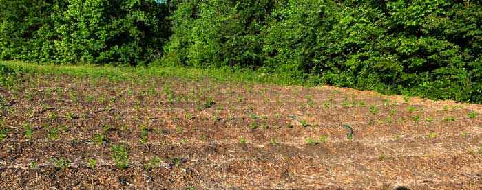 Young potato plants growing in a mulched field. This spot previously had saplings and weeds growing prior to being