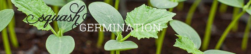南瓜种子进行发芽;如何从南瓜种子和南瓜幼苗的形象开始南瓜