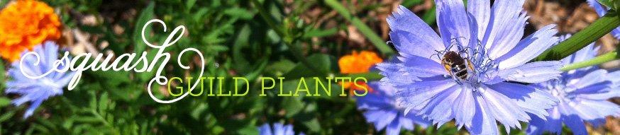 Squash guild plants, squash companion plants