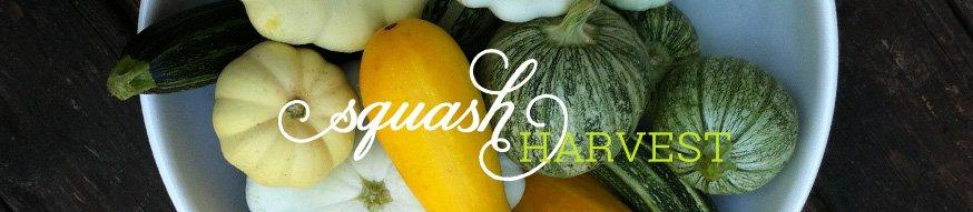 squash-harvesting