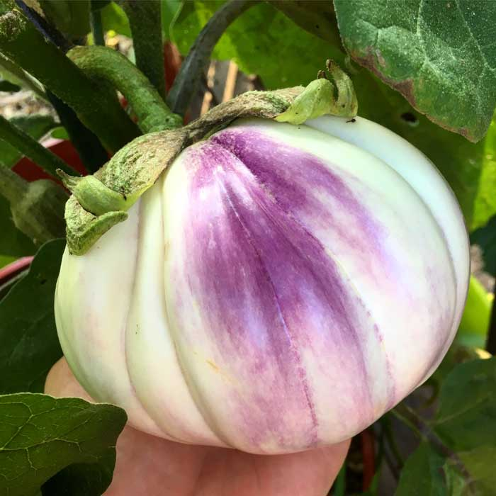 Gorgeous 'Rosa Bianca' eggplants certainly stand out in an edible landscape!