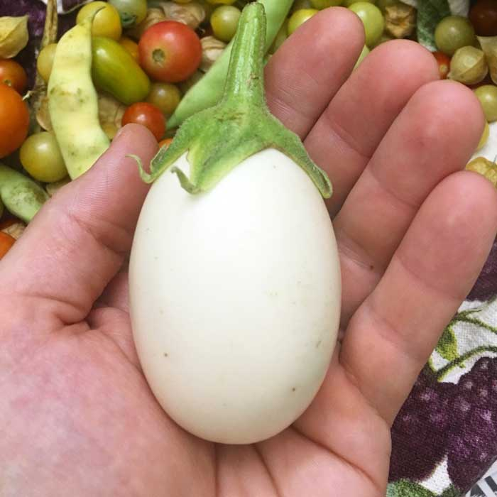 Aptly named 'White Egg' eggplant. This heirloom looks just like an egg and is probably nearly identical to the varieties first imported to Europe.