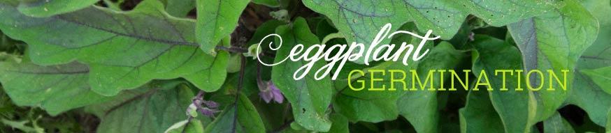 eggplant-germination
