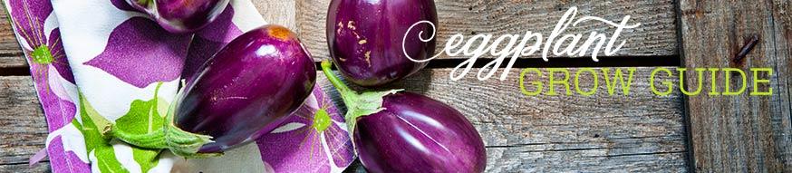 eggplant-grow-guide