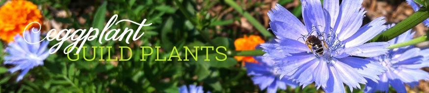 eggplant-guild-plants