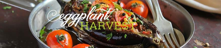 eggplant-harvesting