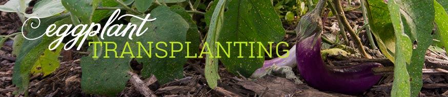 eggplant-transplanting